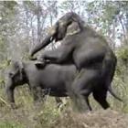 象の交尾拝見