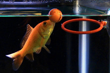 スポーツをする金魚