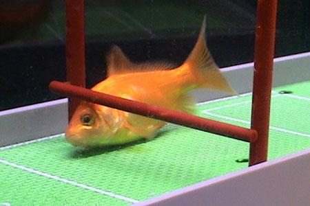 芸達者な金魚02