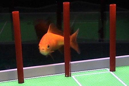 芸達者な金魚03