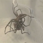 クモのセックス