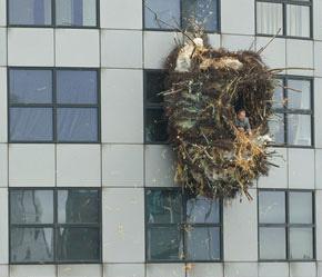 ビルに鳥の巣