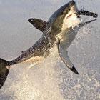 サメの食事風景