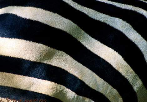 zebra-stripes-400980-ga.jpg