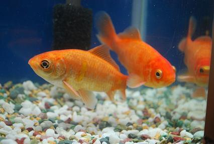 DSC_0509 1111金魚