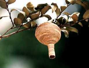 スズメバチの巣(初期)