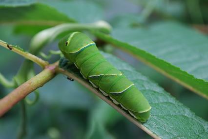 DSC_0492 アゲハ蝶の幼虫