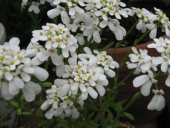 白い小花名前は?