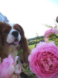 2008_0911画像0004薔薇