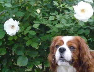 2008_1005画像0006白薔薇と