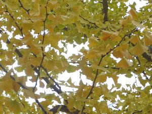 2008_1102画像0003銀杏