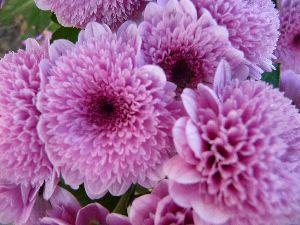 2008_1113画像0008菊