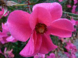 P1010892薔薇2