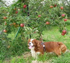 P1000277りんご