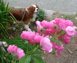 P1000303ピンクのバラ