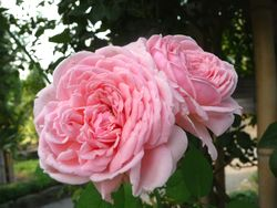P1000417バラの花