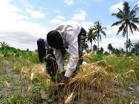 RIMG5739小麦収穫