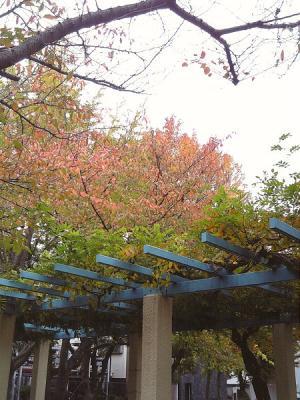 桜の葉っぱの紅葉