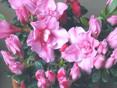 濃いピンクのお花