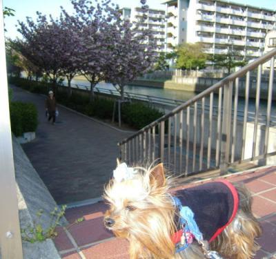 運河沿いの遊歩道の八重桜