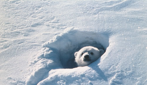 ナヌー 北極のナヌ-