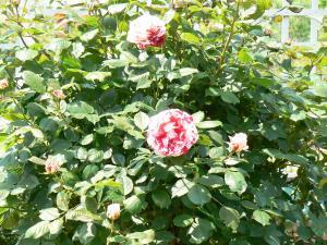 バラ園のバラ
