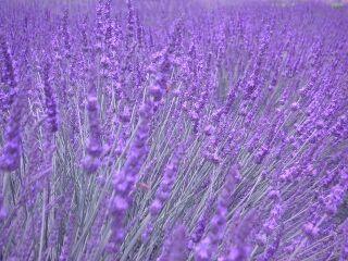 lavender202004-06-1920kirei20half.jpg