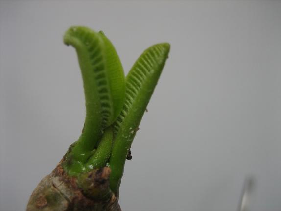プルメリアの芽