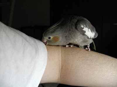 腕を舐めるトゥイ1