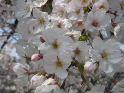 20090406sakura2