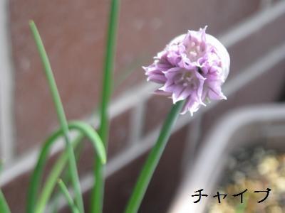 20090503tsubomi1