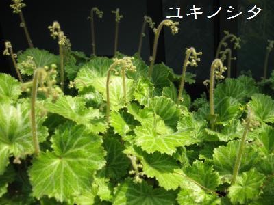 20090503tsubomi3