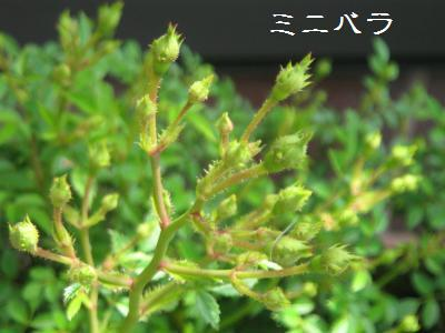 20090503tsubomi4