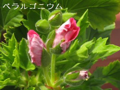 20090503tsubomi5