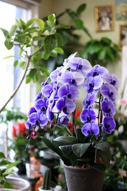 パープルエレガンス~紫の胡蝶蘭