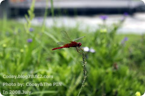 2008_july_赤蜻蛉