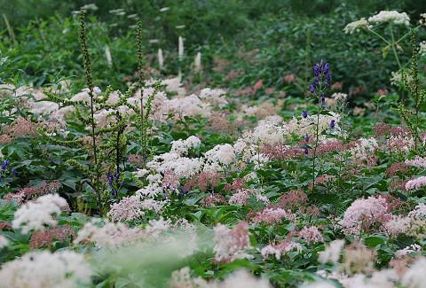 高山植物の群生