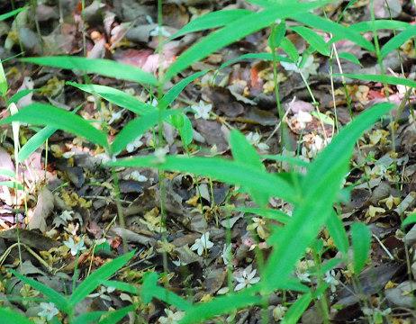 落ちたエゴノキの花