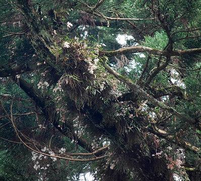 大杉にモッコクの花