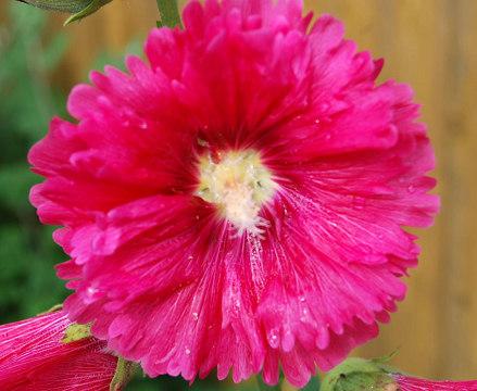 アオイの花