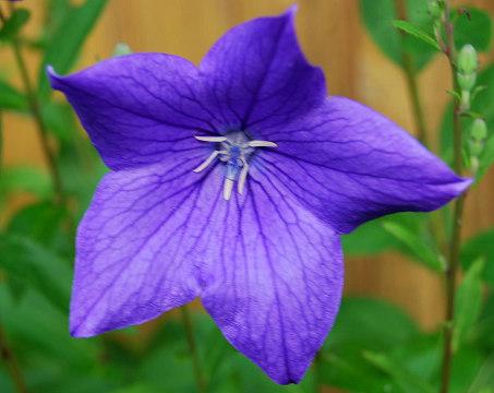 キキョウの花紫