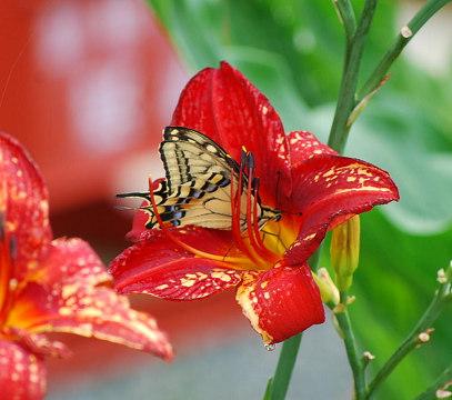 ユリの花にキアゲハ