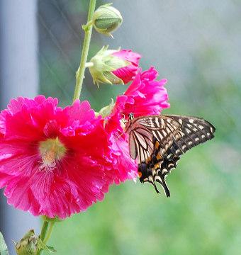 アオイの花にキアゲハ
