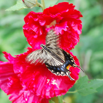 キアゲハがアオイの花に