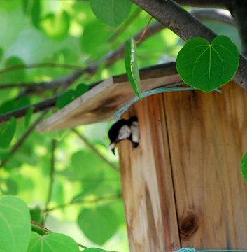 巣箱を出るシジュウカラ
