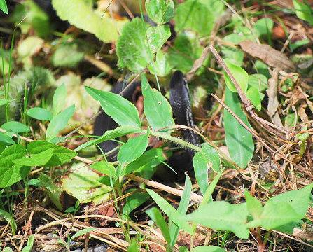 真っ黒のカラスヘビ