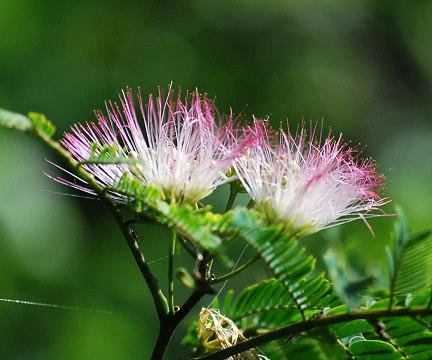 ネムノキの花アップ