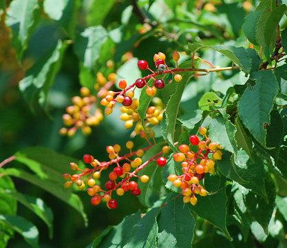 ウワミズザクラの赤い実