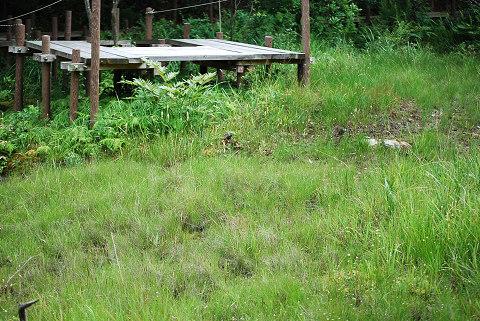 ミカヅキグサが咲くA湿地