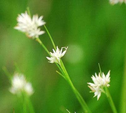 ミカヅキグサの白い花